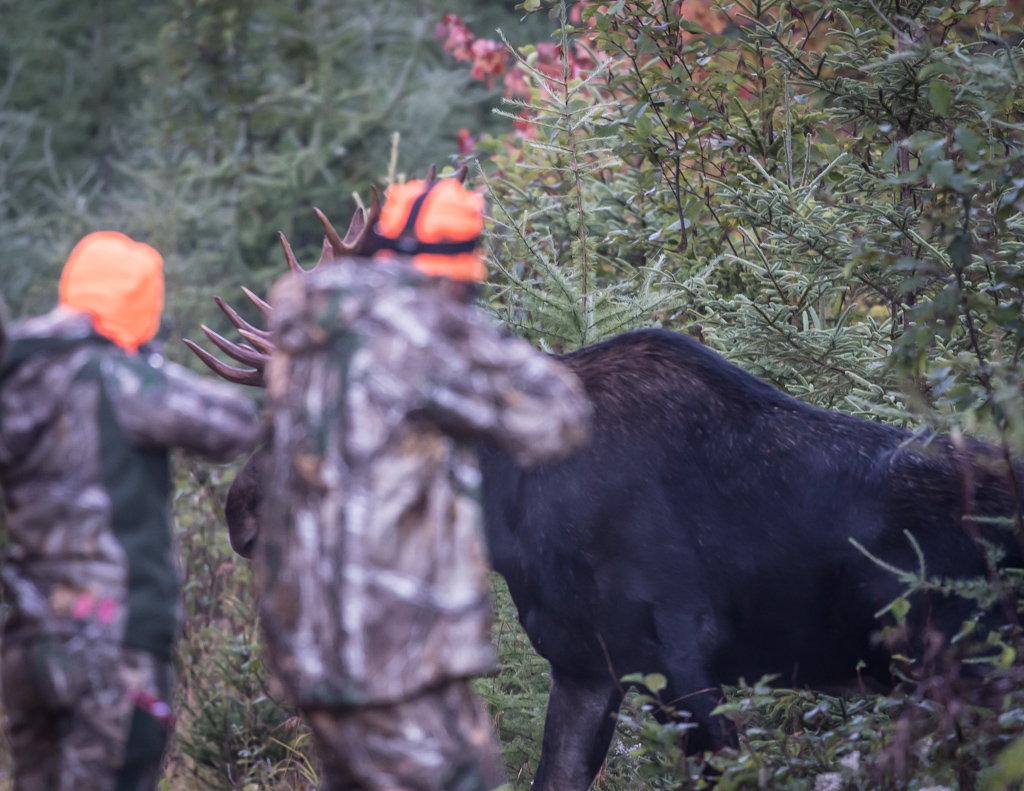 Maine, guided moose hunt, rut